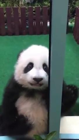 国宝大熊猫真可爱,从眼神中感到了什么呢