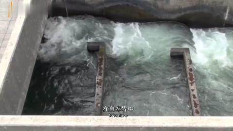 水坝太高鱼群跳不上去人类帮忙修鱼梯这一幕太壮观了