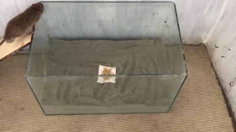 简单扑鼠设备,抓老鼠只需要一个鱼缸,但是有人说关键就是那堆土