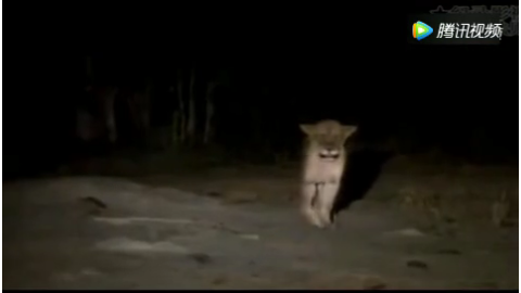 鬣狗在母豹眼皮底下猎食小豹子不料被母豹反击