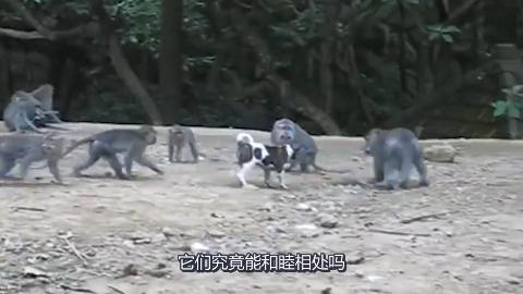 狗狗误入猴群猴子们向它示好狗狗竟然向猴子们展示它的威力