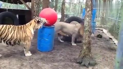 动物园上演二猫戏球,网友:好期待老虎和狮子斗起来!