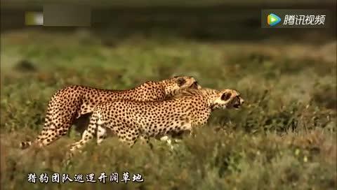 猎豹妈妈带着儿子猎杀羚羊最终猎杀成功饱餐一顿