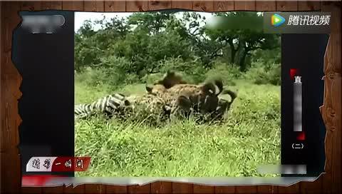 鬣狗假装路过羚羊群趁机偷袭小羚羊狮子见了愤怒出手