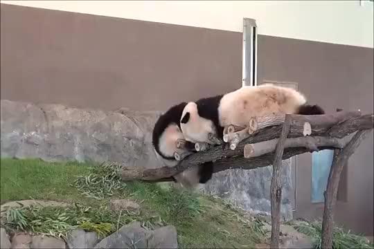 一对欢喜冤家大熊猫,同住时经常打闹不停