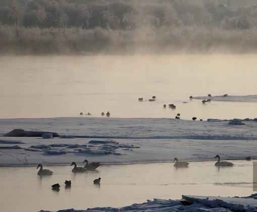 甘肃张掖:天鹅聚集黑河湿地,悠然越冬