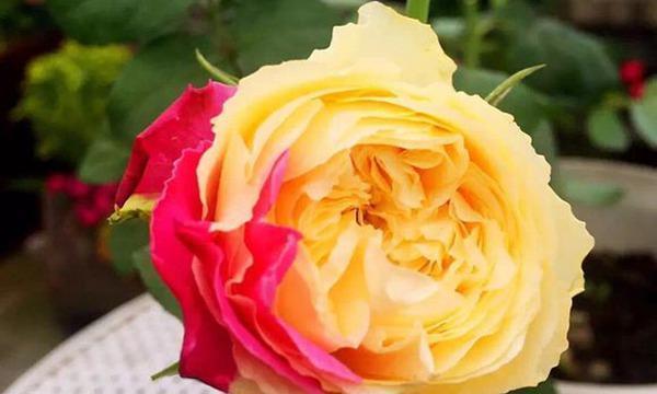 风月月季,谜一样的色彩,红黄相间,每一朵都会有不一样的颜色