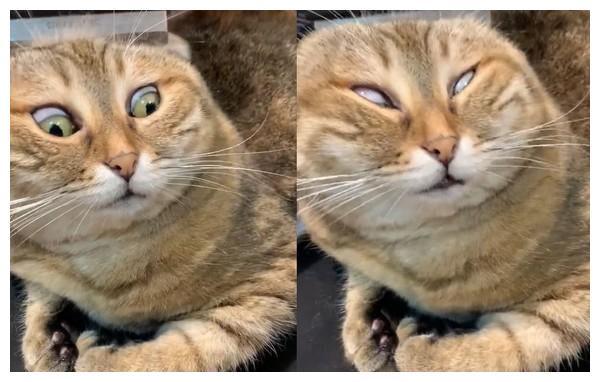 猫梳毛白眼翻后脑 原因:皮太松