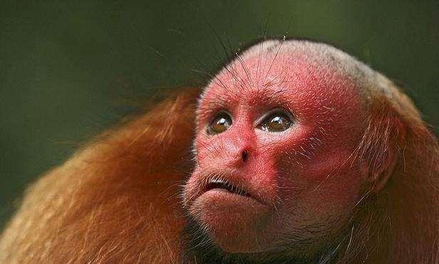 世界上最丑的猴子,满脸通红没有头发,如今已濒临灭绝!