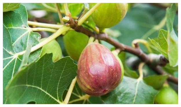 """养无花果,家中""""水缸""""利用起来,促进果实生长,当年种,当年结"""