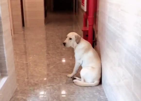 拉布拉多跟主人怄气,蹲在门口不进家,狗狗:我要离家出走