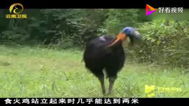亚太十二金刚愤怒的食火鸡太暴力游客吓得翻越栅栏逃生
