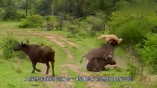 角马在刨土,却突然间倒地抽搐,一旁的羚羊看得莫名其妙!