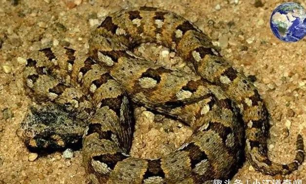 非洲有一种比人的胳膊还粗的毒蛇,平头哥被咬一口也要昏迷4小时
