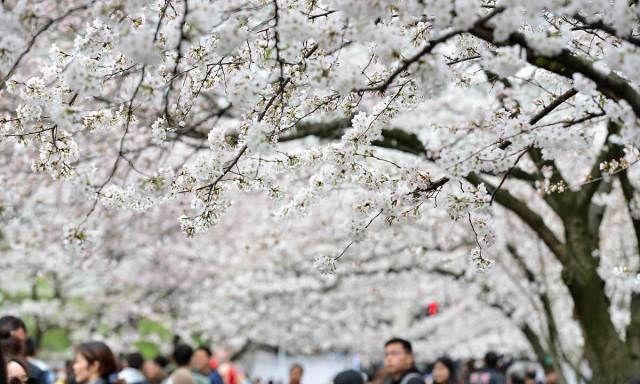 南京林业大学校园内樱花盛开 吸引市民学生扎堆观赏