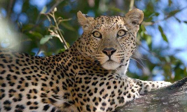 世界上最大的豹子,外表十分凶悍,如今却濒临灭绝!