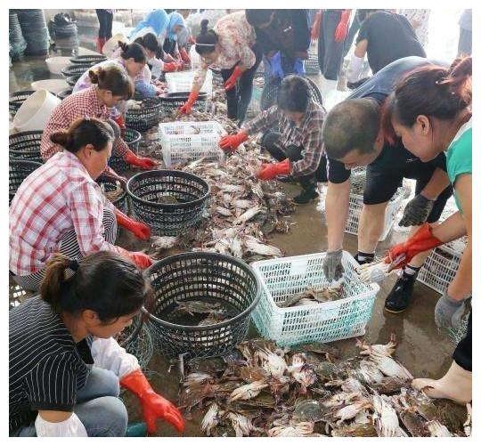 蟹肥味美!江苏:连云港梭子蟹大量供应周边省份地区市场!