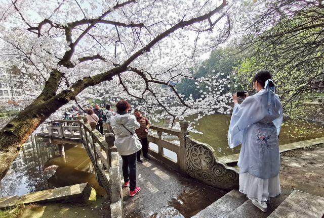 网红最新聚集地,武汉大学星湖畔樱花怒放,吸引众多市民前来