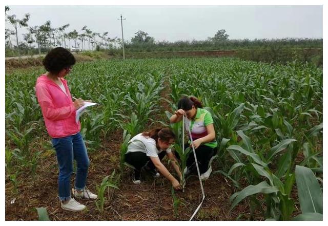 渭南市临渭区开展玉米苗情调查 指导夏玉米生产