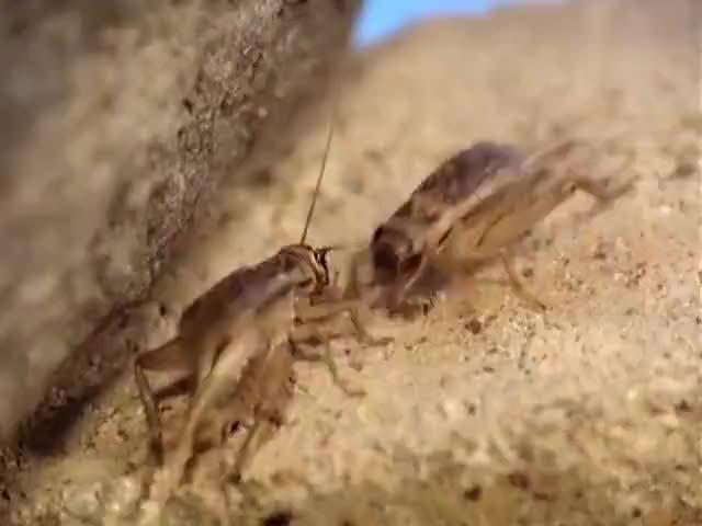 发现蟋蟀可比喵主子好战多了