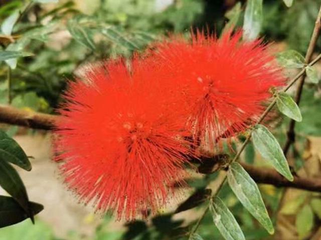 此花长得像红色的粉扑,毛茸茸的,象征着合家欢乐,美丽寓意好