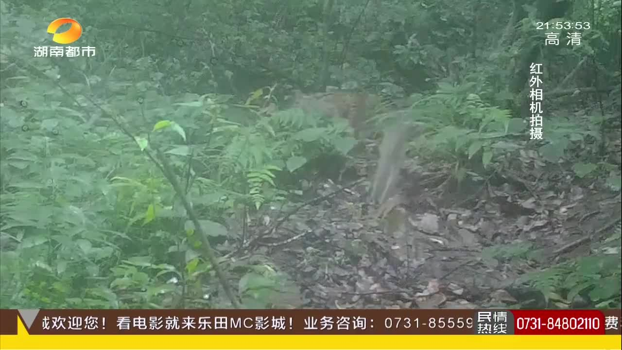 白云山国家自然保护区捕捉珍贵影像!四只豹猫同框,一母带三崽