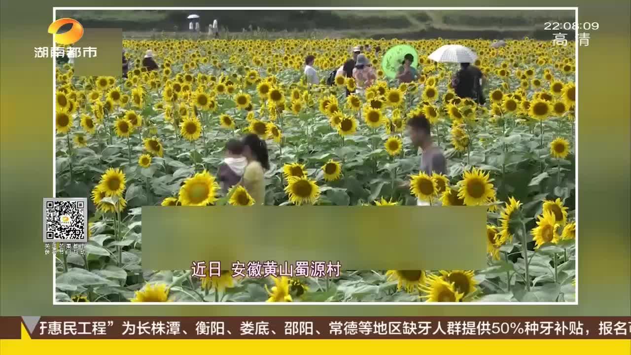 气愤景区用于观赏的向日葵被游客扣成表情包素质令人堪忧