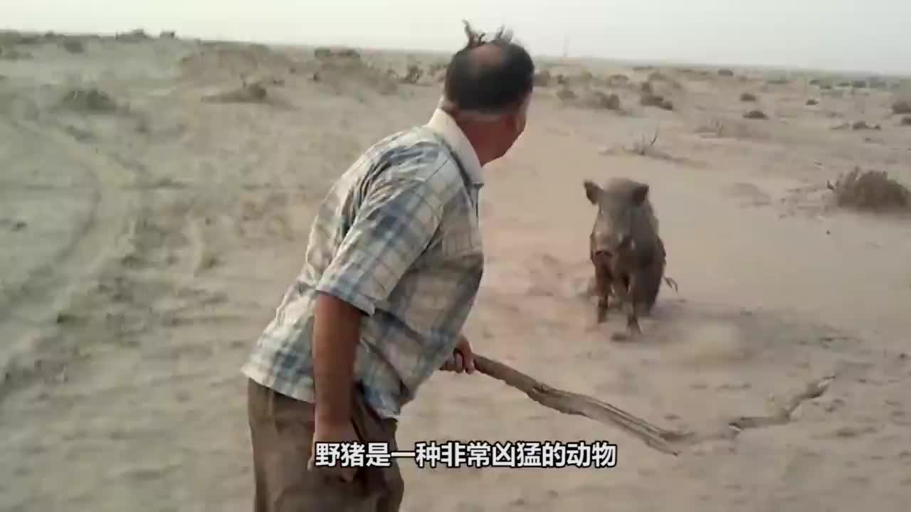 这只野猪太倒霉了遇到如此疯狂的狗狗这下逃不掉了