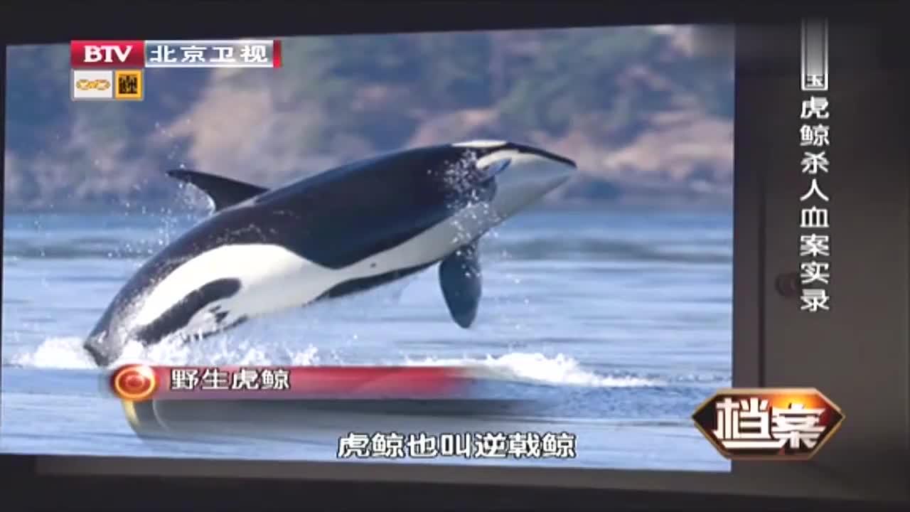 海上霸主虎鲸凶猛捕鲸队竟把目光瞄向鲸宝宝贪婪无比