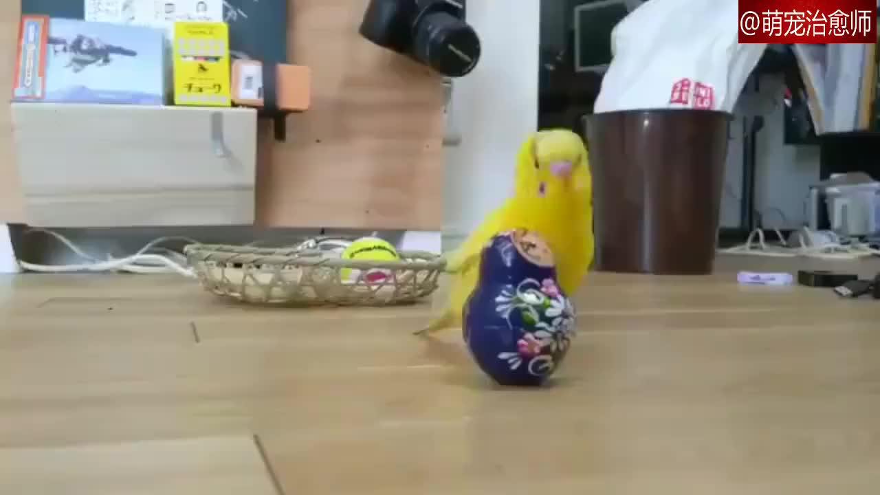主人将鹦鹉喜欢的套娃玩具换成了大号