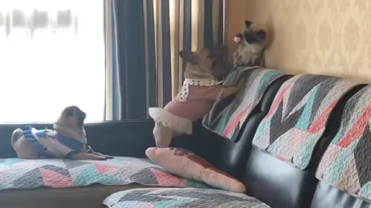 两只狗把猫逼到墙角了猫只能无力的挣扎主人还笑的出来