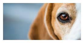 狗狗眼睛睁不开,问题可大可小,先从这4个方面检查