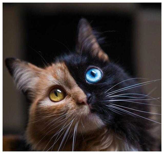 这只双面猫在Instagram上有近10万名粉丝,因为她长得太漂亮了