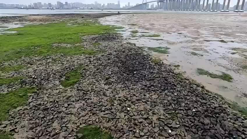 天气回暖虎子赶上大退潮碎石堆下藏着海货海螺和海鱼都捡到