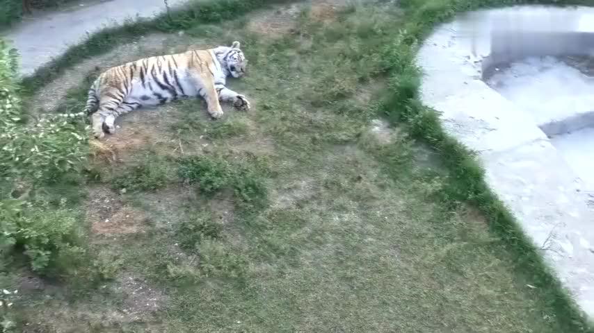小老虎哭着找妈妈两只虎妈妈却躺在草地上一动不动