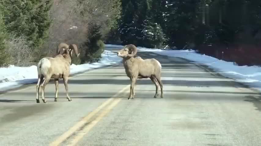 发现马路上有两头鹿正在干架不让开车开不过去