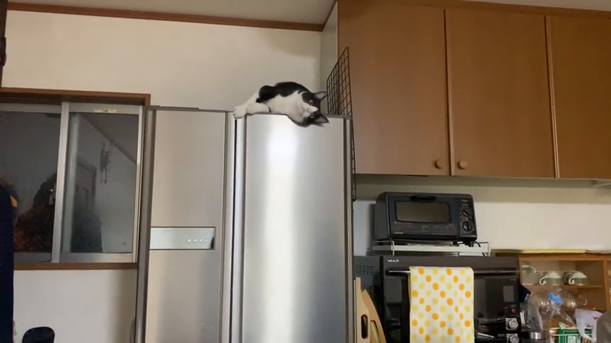 趣味萌宠:大花猫在冰箱上玩耍