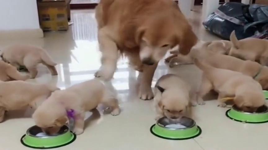 """金毛看着小奶狗吃饭,不听话就""""打屁股"""",当爹太难了!"""