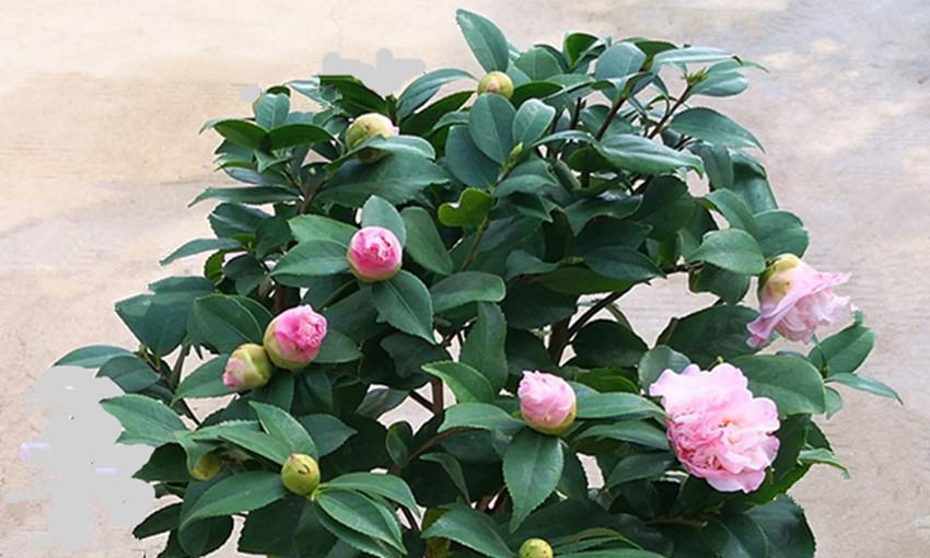 养茶花时注意四点,叶不黄、蕾不掉,叶子乌黑油绿,开花爆满盆