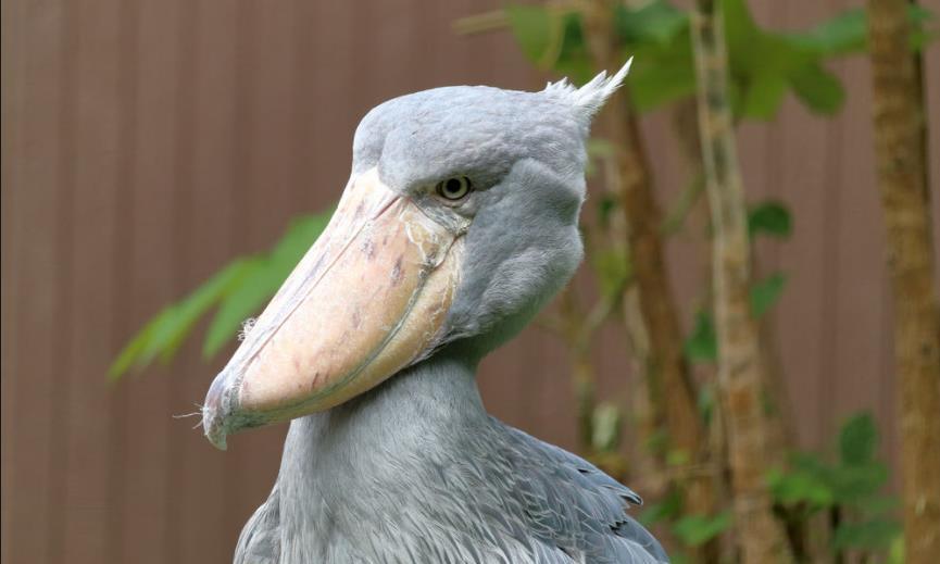 世界上最礼貌的鸟类,见人就拔毛送礼,最后却把自己整成濒危动物