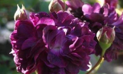 """喜欢菊花,不如养盆""""高档玫瑰""""紫罗兰皇后,柔美娇羞,清新美人"""