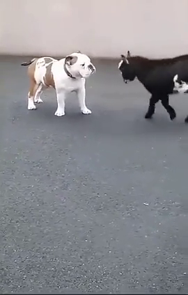 狗狗也不明白它到底是喜欢我还是想弄死我呀