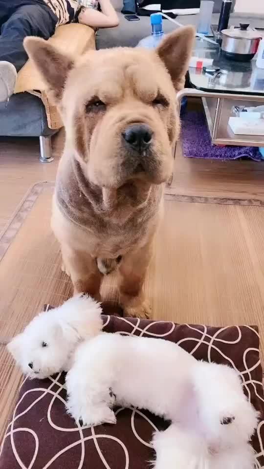 主人指责狗狗不会照顾它女儿狗狗一系列的举动让人不敢相信