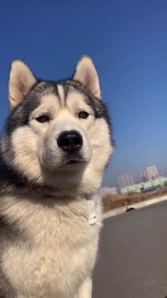 这是我见过,最高冷的狗狗,一脸严肃的表情