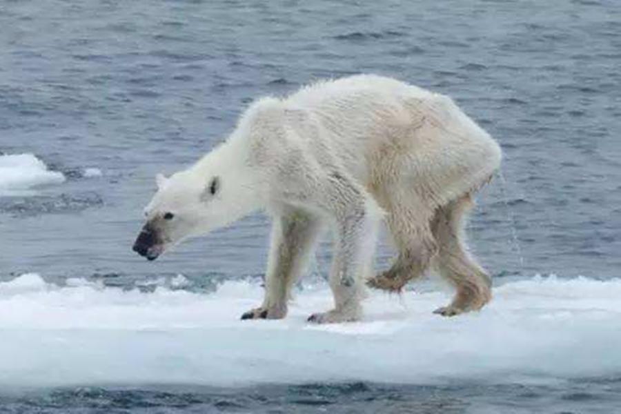俄罗斯远东山村遭北极熊包围,气候变暖北极熊南下觅食
