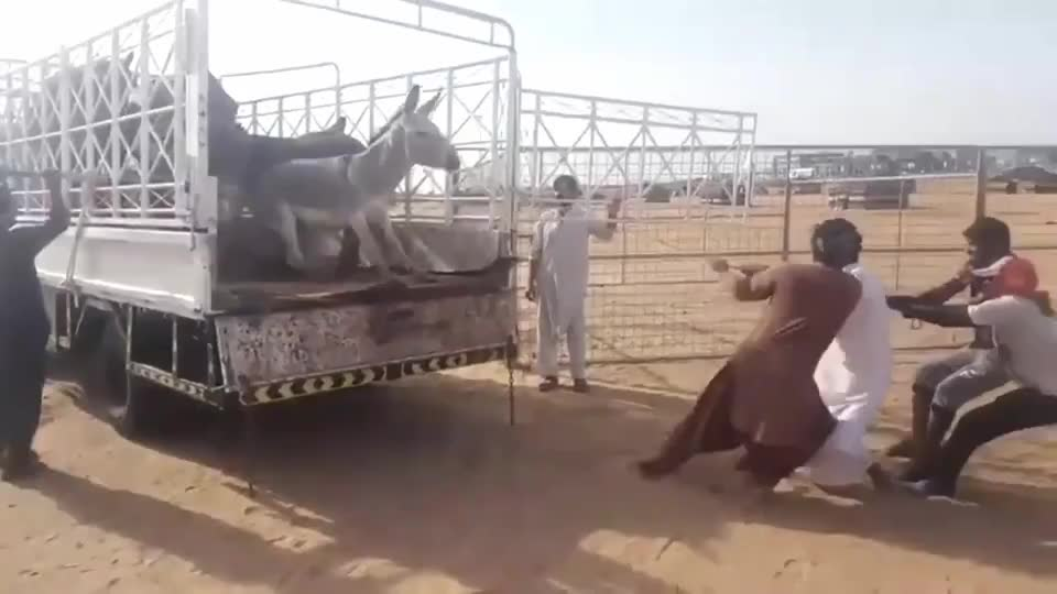 毛驴死活不下车主人使劲儿一拉毛驴一招飞驴在天坑了主人
