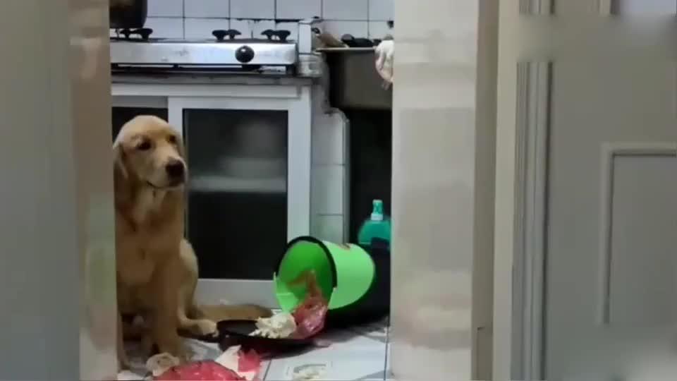 小狗翻垃圾桶主人要关小狗禁闭金毛妈妈联合小狗暴打主人逗