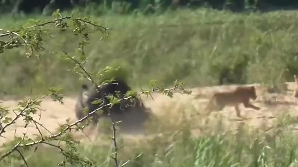 狮子正在午睡被野牛撞见结局狮子可惨了网友单挑王