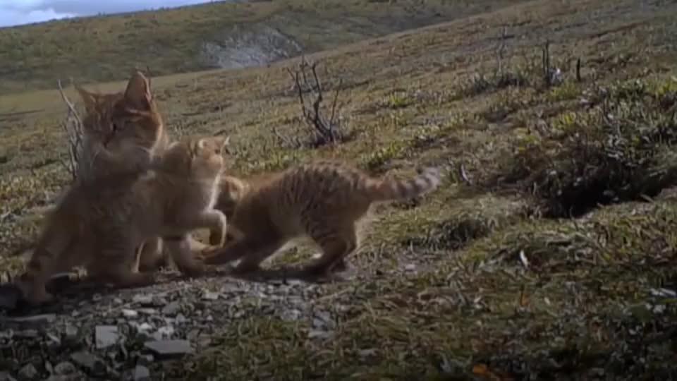 祁连山发现神秘的荒漠猫颜值呆萌敢吃毒蛇凶猛不输花豹