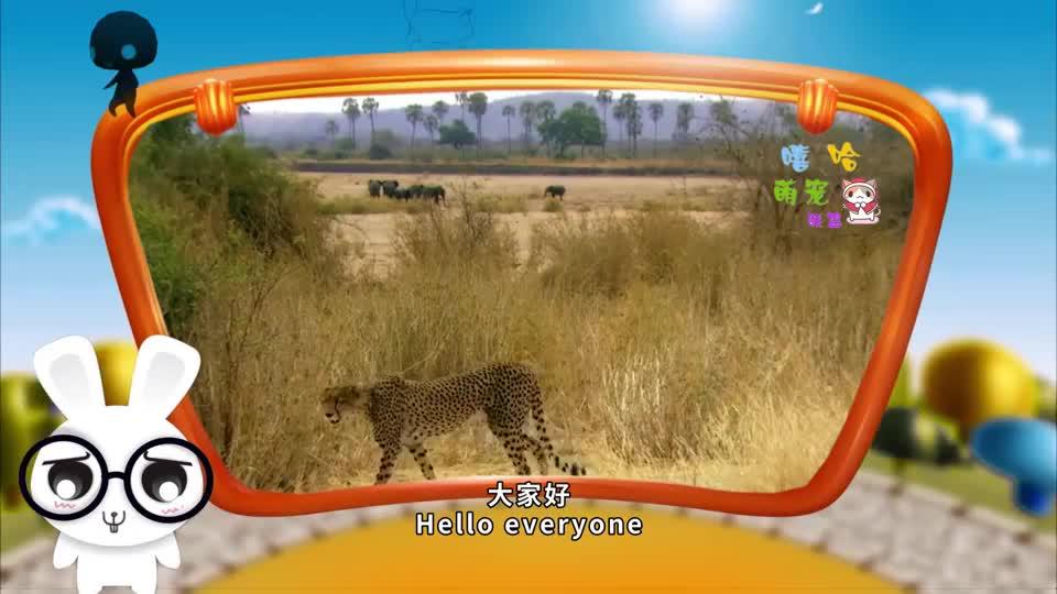 猎豹偷袭羚羊却遭到羚羊的调戏镜头记录精彩画面